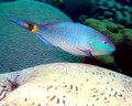 Parrot fish and Brain Coral