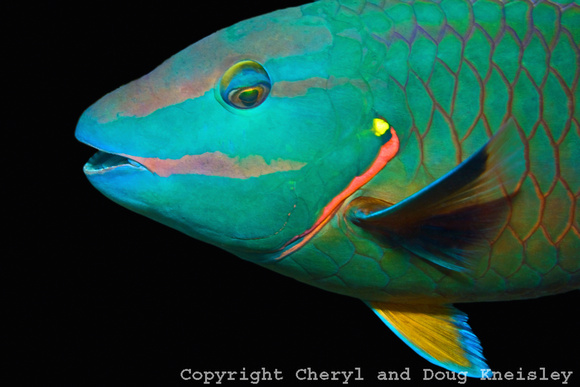 Parrot Fish Closeup